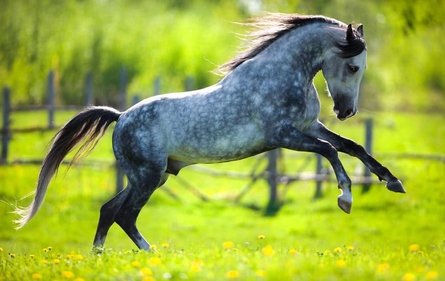 Gray horse running in field in spring.